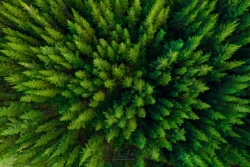 Beech-Forest-Pines-scaled