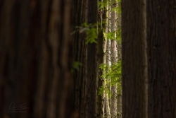 Beech-Through-The-Redwoods-scaled