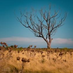 Dead Tree | Bulla, Victoria