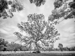 Woodlands Dame | Greenvale