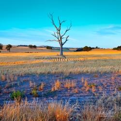 Lone Tree | Greenvale, Victoria